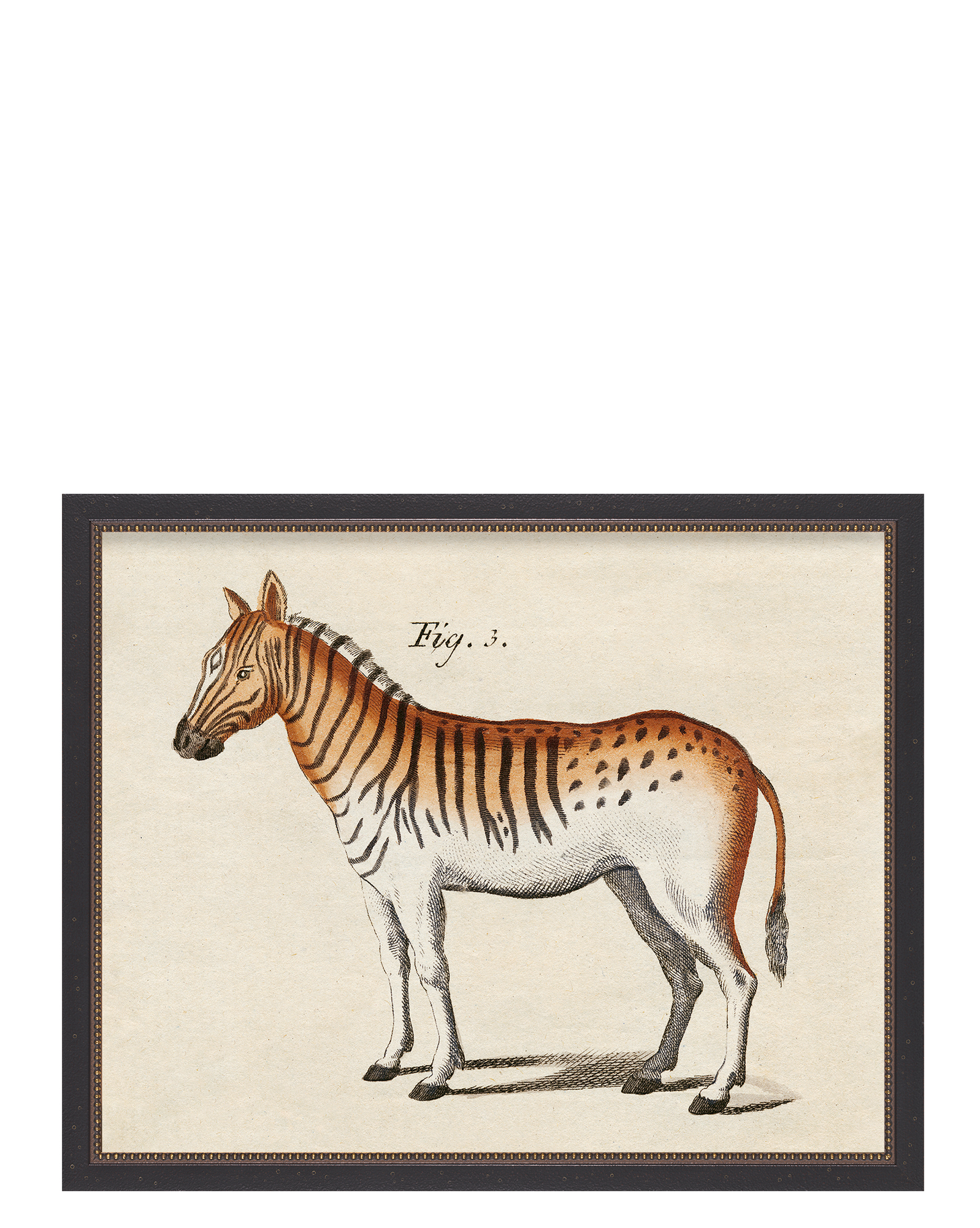 Vintage Quagga in Beaded Frame by Whalebone Creek Prints,